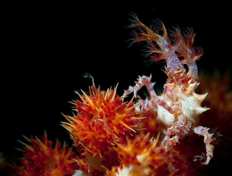Candy crab ( Hoplophrys oatesi ) on red /orange soft coral