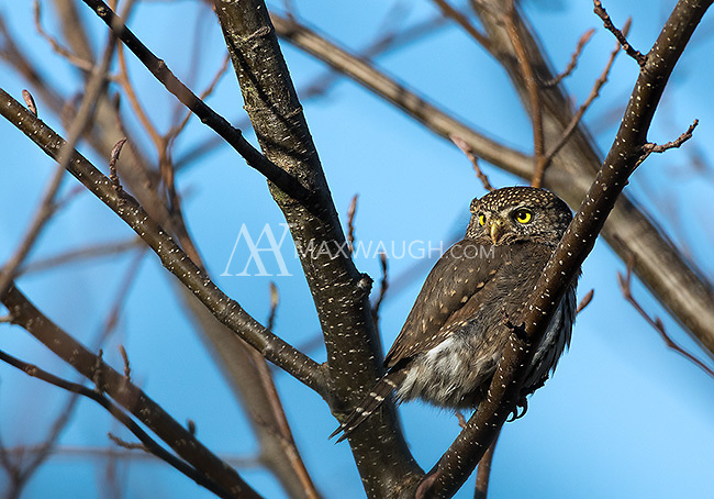 A pair of Northern pygmy owls delighted visitors near Carnation for a few weeks in January of 2015.