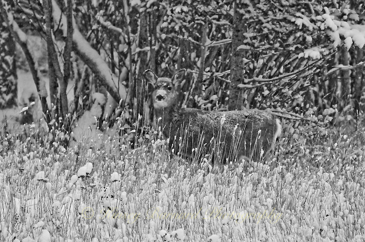 &quot;WINTER CAMOUFLAGE&quot;<br /> <br /> 40 X 30 USD 3,500<br /> 36 X 24 USD 2,800<br /> <br /> 16 x 12.5 Paper print. Signed &amp; numbered.<br /> 1/50 $95.00<br /> <br /> A blacktail (aka mule deer) stands alone and nearly invisible in the forest after a snow storm. The winter colors make this appear to be a black and white image but it is actually not.