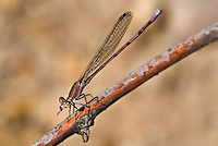 338240004 a wild male amethyst dancer argia pallens perches on a dead stick eating a bug near a small pond in las cienegas natural conservation area pima county arizona united states..GPS:N  31.89899; W -110.689444