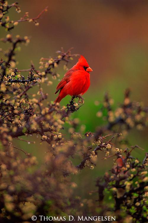 A northern cardinal perches on a bush.