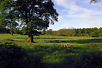 Sheep and lambs in field, West Tanfield, Ripon,North Yorkshire.