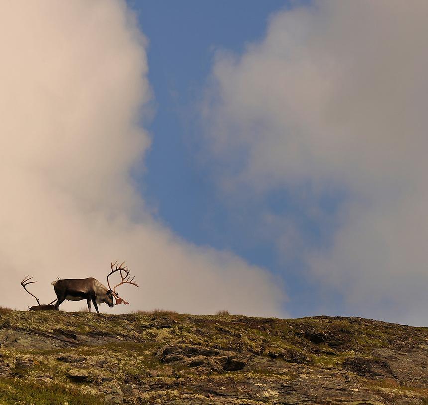 Villrein, Wild reindeer, Forollhogna, Norge, Norway