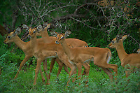 KLASERIE PRIVATE GAME RESERVE, SOUTH AFRICA, DECEMBER 2004. Impalas in the bush. Wildlife guide Gary Freeman takes people on walking safaris in the bush. Photo by Frits Meyst/Adventure4ever.com