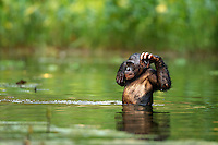 Bonobo male wading through water (Pan paniscus), Lola Ya Bonobo Sanctuary, Democratic Republic of Congo.