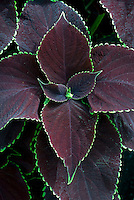 Coleus Chocolate Mint Solenostemon, purple foliage with green edges