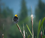 Yellow-headed blackbird sitting on a cattail protecting his territory