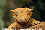 New Caledonian Crested Gecko, Rhacodactylus ciliatus, also called Guichenot's Giant Gecko or Eyelash Gecko.  Endemic to New Caledonia in the South Pacific, the crested gecko was thought extinct until it was rediscovered in 1994.  It is now one of the most commonly kept species of gecko in captivity.  .