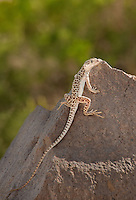 437880004 a wild long-nosed leopard lizard gambelia wislizeni perches on a large rock in redding canyon inyo county california