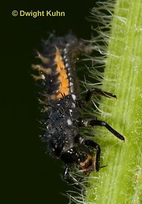 1C02-527z  Asian Ladybug Larva feeding on aphids, Harmonia axyridis