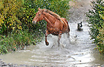 Chance the ranch dog chases horse across a creek to evening pasture on the Triangle X Ranch in the Grand Tetons of Wyoming.