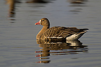 537260019 a wild  greater white-fronted goose anser albifrons at colusa national wildlife refuge califonia