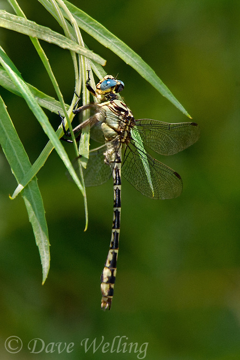 333990002 a wild male olive clubtail stylurus olivaceus perches on a plant leaf near bishop inyo county california