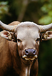 Banteng, Java, Indonesia
