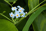 Forget-me-nots, Myostis scorpioides flower (about 1/4 inch) found in a wetland in Topsfield, MA