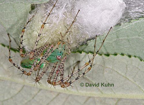 "0922-07xx  Green Lynx Spiderling guarding egg case ""egg sac""  - Peucetia viridans  ""Eastern Variation"" - © David Kuhn/Dwight Kuhn Photography"
