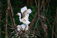 Egrets wait for their parents to bring food to their nest at a rookery on Kings Bay Submarine Base.