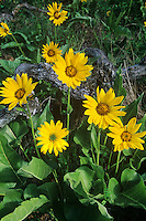 105390005 a northern balsamroot balsamorhiza deltoides puts forth large sunflower like yellow blossoms in the columbia gorge national scenic area in oregon united states