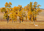 Pronghorn and Cottonwoods, Lamar Valley in Autumn, Yellowstone National Park, Wyoming