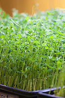 Edible Pea shoots or seedlings