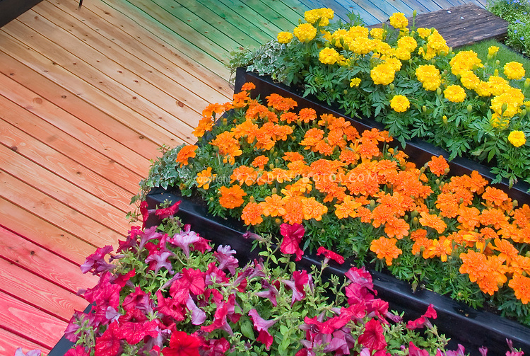 Annual flowers marigolds in orange and yellow signet tagetes with red