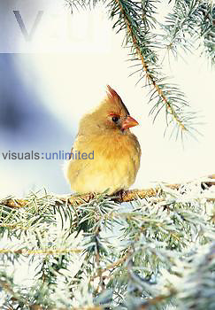 Female Northern Cardinal in the winter, with fluffed fleathers (piloerection) for thermoregulation, Eastern USA.