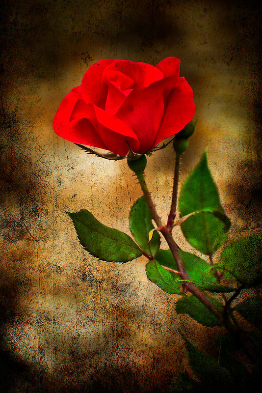 Rose texturized and placed on a classical background for that vintage look.