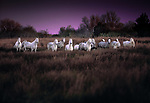 The Camargue Horses of the Rhone River delta in Southern France offer a unique opportunity to photograph some very rare wild horses that have adapted to living along the seashore.