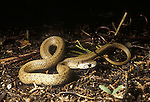Snakes, Brown