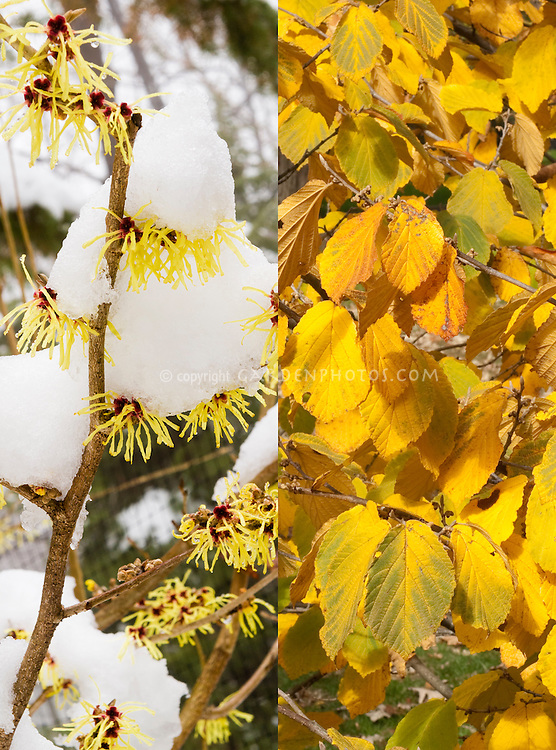 Hamamelis Pallida witchhazel in flower in winter snow and in autumn foliage color, same plant in different seasons time phases