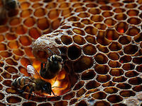 Honeybees on a royal cell