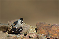 561250011 a wild white-breated nuthatch sitta carolinensis tenussuma lands on a rock in madera canyon green valley arizona united states