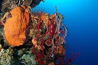 nr0461-D.  red Erect Rope Sponges (Amphimedon compressa), Orange Elephant Ear Sponge (Agelas clathrodes), Lavendar Rope Sponge (Niphates erecta). Belize, Caribbean Sea.<br /> Photo Copyright &copy; Brandon Cole. All rights reserved worldwide.  www.brandoncole.com