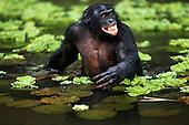 Bonobo mature male wading through water for food (Pan paniscus), Lola Ya Bonobo Sanctuary, Democratic Republic of Congo.