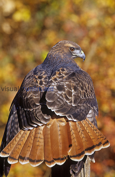 Red-tailed Hawk ,Buteo jamaicensis, perched while hunting and showing its red tail feathers.