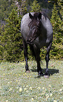 Bacardi is a striking blue roan mare whose mother is Washakie. Born in 2001.