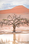 A dead camel thorn tree (Acacia erioloba) stands at the edge of a lake after heavy rains at Sossusvlei.