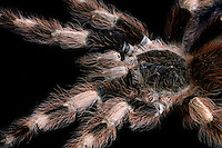 Brazilian Black & White Tarantula (Nhandu coloratovillosus), native to Brazil, captive.