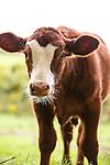 20150909 Nelson Cattle