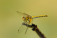 362700014 a wild juvenile male band-winged meadowhawk sympetrum semicintum perches on a dead twig near bishop in inyo county california