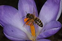 Honigbiene, Honig-Biene, Biene, Apis mellifera, Apis mellifica, Blütenbesuch auf Krokus, Nektarsuche, Blütenbestäubung, honey bee, hive bee