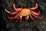 A portrait of a sally lightfoot crab on a lava rock on the beach of the Galapagos Islands in Ecuador.
