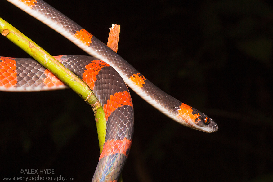 False Coral Snake / Bush Racer / Forest Flame-Snake {Oxyrhopus petolarius} Osa Peninsula, Costa Rica. May.