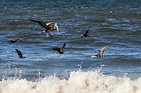 Feeding Pelican off Taholah, WA