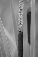 &quot;Cattails&quot; - B&amp;W<br />