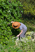 Woman picking beans in community garden, Yarmouth Maine, USA