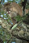 Cougar, Calakmul Biosphere Reserve, Campeche State, Mexico