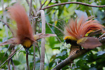 Goldie's Bird of Paradise (Paradisaea decora) males displaying at their lek display site in the forest canopy on Fergusson Island, Papua New Guinea.