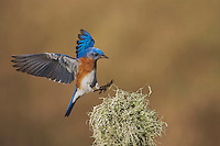 Eastern Bluebird (Sialia sialis), male landing, Sinton, Corpus Christi, Coastal Bend, Texas, USA