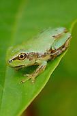 A newly metamorphosed Italian Tree Frog (Hyla intermedia), Italy.